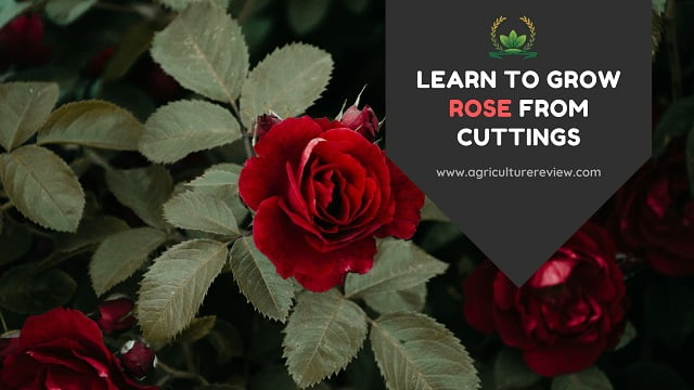 HOW TO GROW ROSE FROM CUTTINGS? Follow these easy steps!