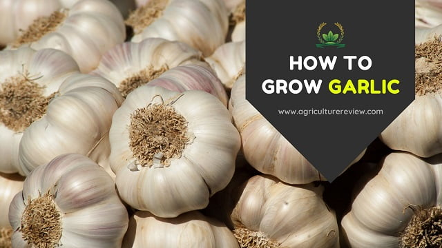 HOW TO GROW GARLIC: Propagation to Harvesting