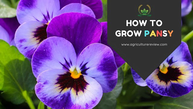 HOW TO GROW PANSY? Guide on PANSY CARE