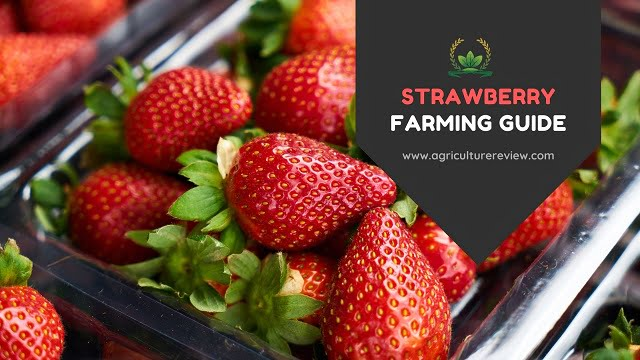 [STRAWBERRY FARMING] Complete Guide From Origin to Harvesting