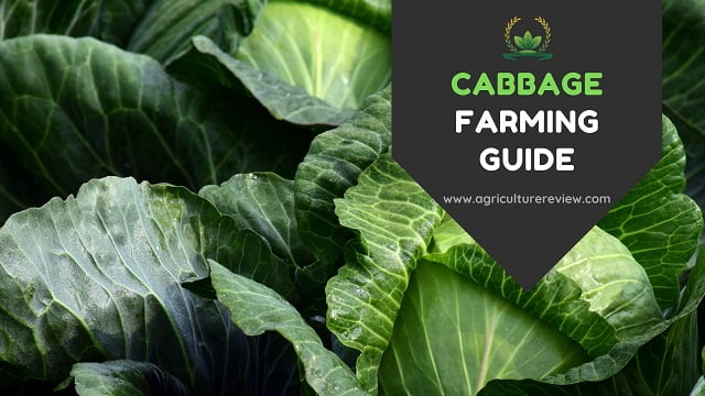 Cabbage Farming-Become an expert!