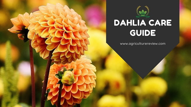 DAHLIA CARE: Your Best Guide On Dahlia Care