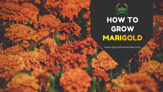 MARIGOLD: How to grow and Marigold Care