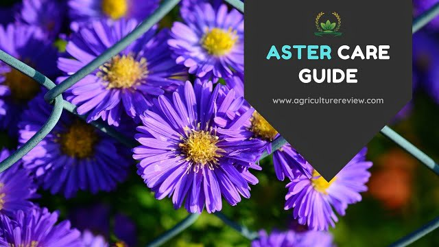 ASTER CARE: How To Grow And Care For Aster