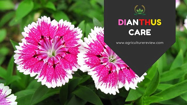 DIANTHUS CARE: How To Grow And Dianthus Care Guide