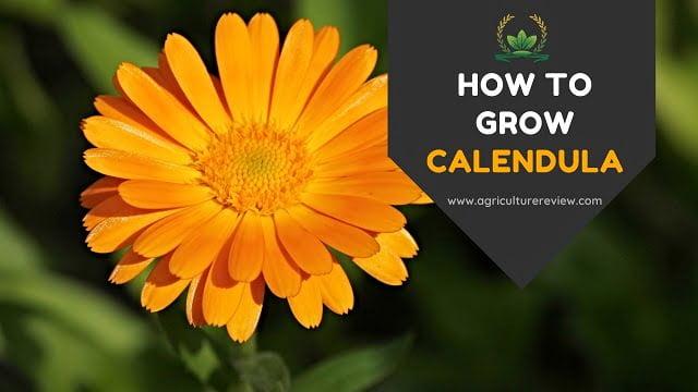 CALENDULA: How to Grow, Plant and Care for Calendula