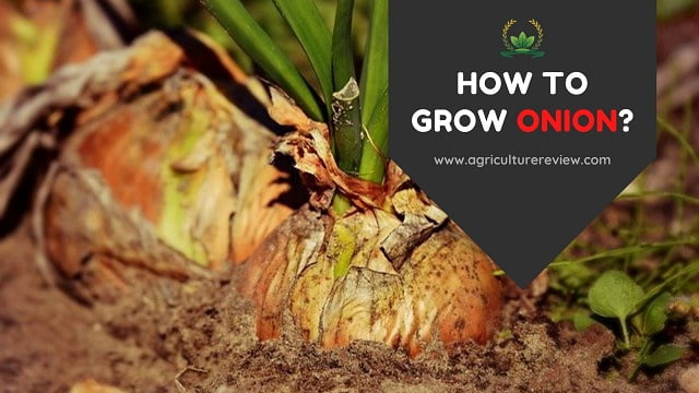 how-to-grow-onion