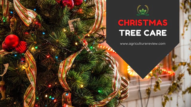 CHRISTMAS TREE CARE: Best Guide To Care For Christmas Tree
