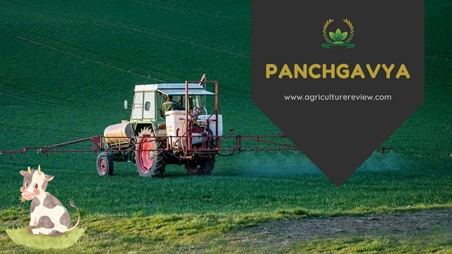 PANCHGAVYA ORGANIC PESTICIDE: How To Prepare And Benefits