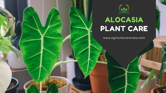 ALOCASIA CARE: How To Care For Alocasia Plant
