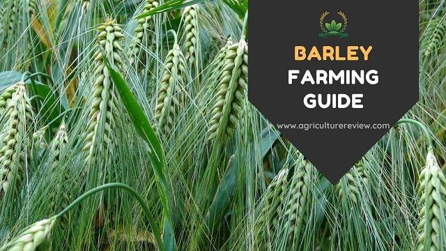 BARLEY FARMING: Complete Guide On Barley Farming