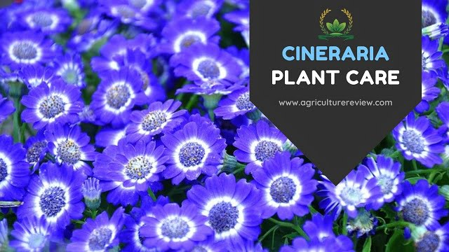 CINERARIA CARE: Know How To Care For Your Cineraria Plant