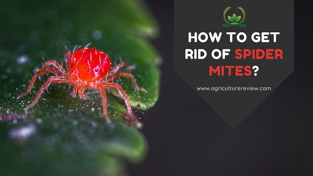 HOW TO GET RID OF SPIDER MITES – The Effective Ways