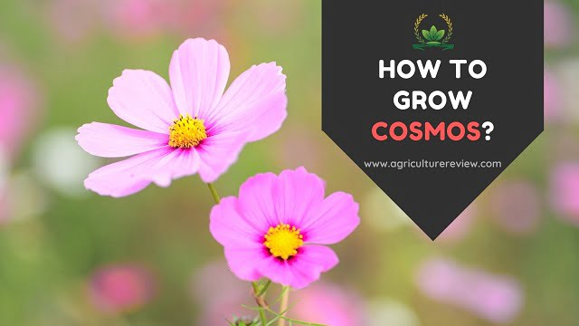 HOW TO GROW COSMOS: Guide To Grow And Care For Cosmos