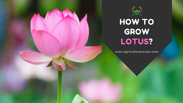 HOW TO GROW LOTUS: Your Best Guide To Grow And Care For Lotus Plant