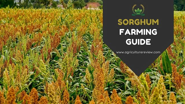 SORGHUM FARMING: Complete Guide On Cultivation Of Sorghum