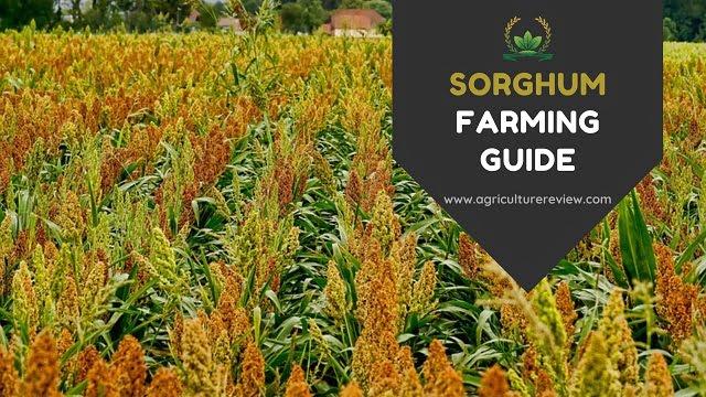 sorghum farming