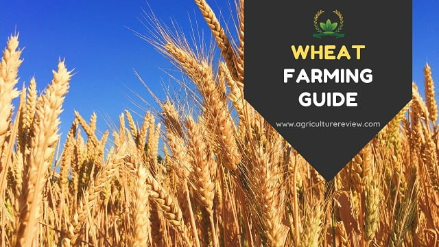 WHEAT FARMING: Complete Guide on Cultivation of Wheat