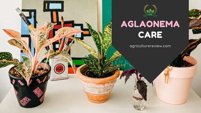 AGLAONEMA CARE: Complete Guide On Aglaonema Plant Care