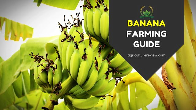 BANANA FARMING GUIDE: Complete Guide On Cultivation Of Banana