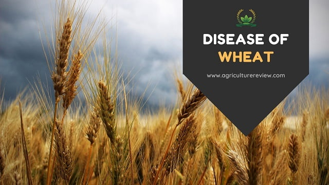 DISEASE OF WHEAT: Get To Know Everything About Wheat Diseases