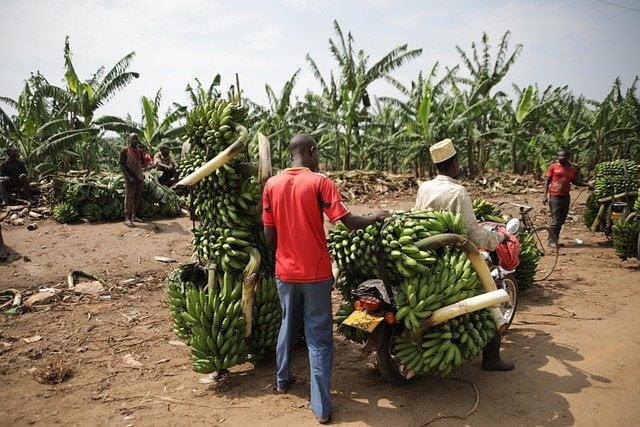 harvested banana