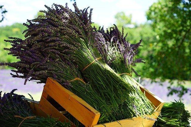 harvested lavender