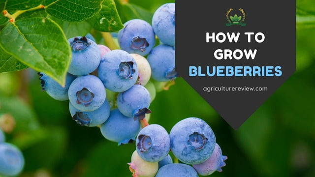 HOW TO GROW BLUEBERRIES: Complete Guide On Growing Blueberries