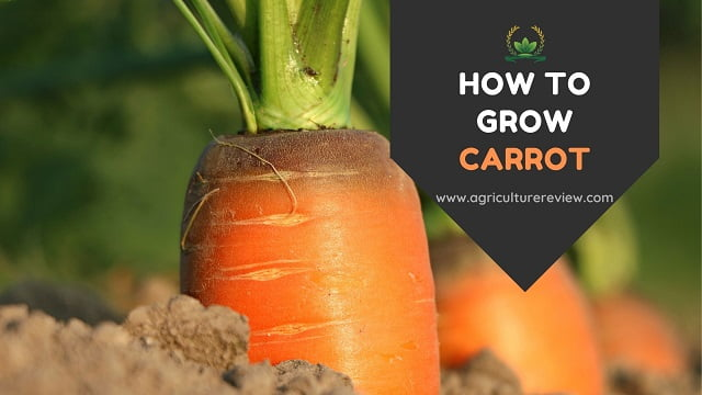 how to grow carrot