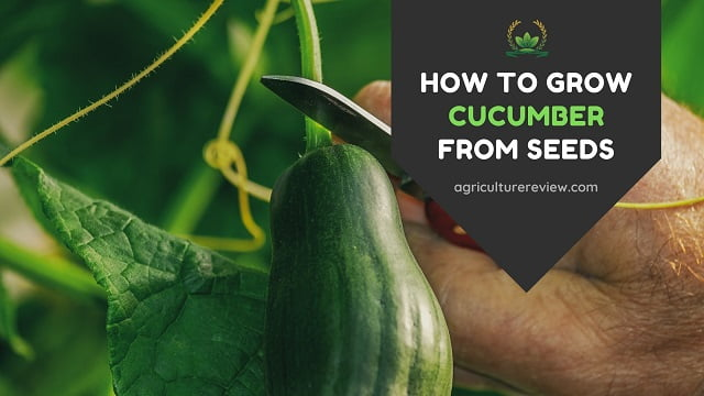 HOW TO GROW CUCUMBER FROM SEEDS