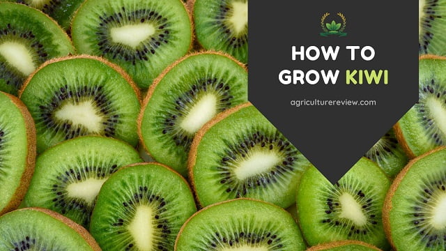HOW TO GROW KIWI: Complete Guide On Growing Kiwi
