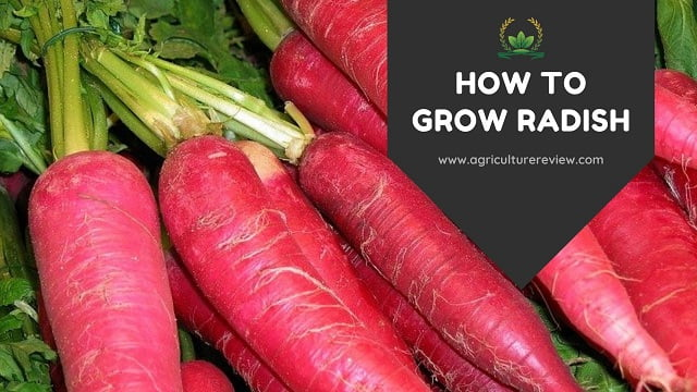 HOW TO GROW RADISH: Complete Guide On Growing Radish
