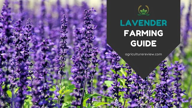 LAVENDER FARMING GUIDE: Complete Guide On Cultivation Of Lavender