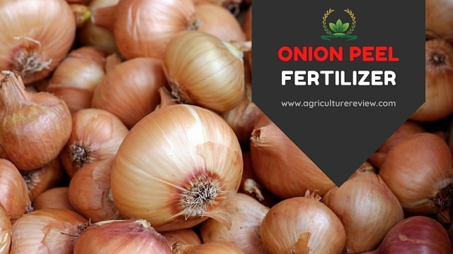 ONION PEEL FERTILIZER: How To Prepare And  Use