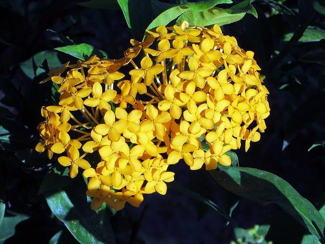 Ixora flower, ixora plant, flowering plant