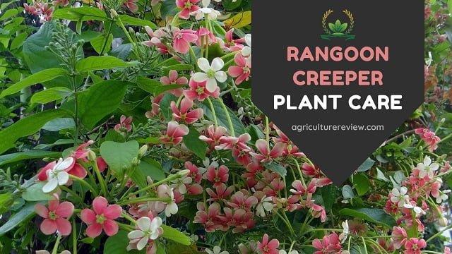 RANGOON CREEPER: Complete Guide To Grow And Care Rangoon Creeper
