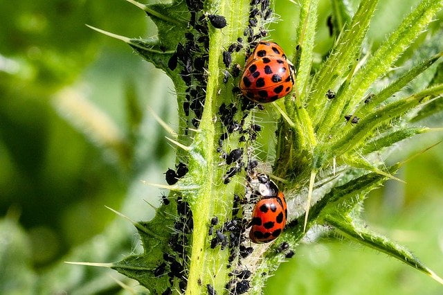 aphids, plant infected with aphids, aphids symptoms, how to control aphids