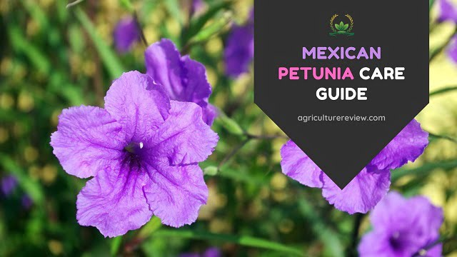 Care Of Mexican Petunia: How To Care For Mexican Petunia
