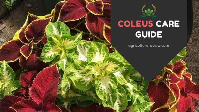 COLEUS PLANT CARE: How To Grow & Care For Coleus