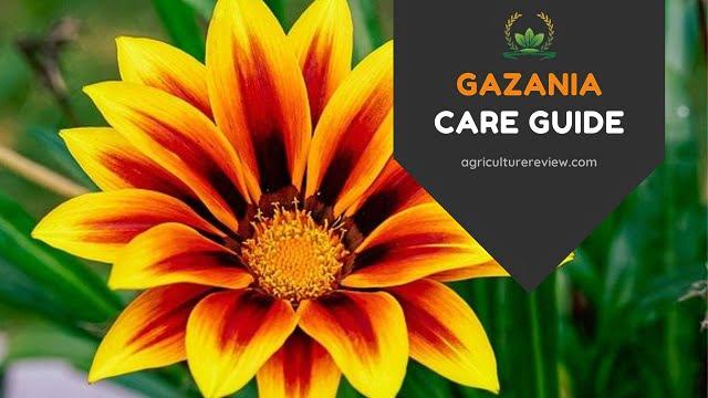GAZANIA CARE: How To Grow And Care For Gazania Plant