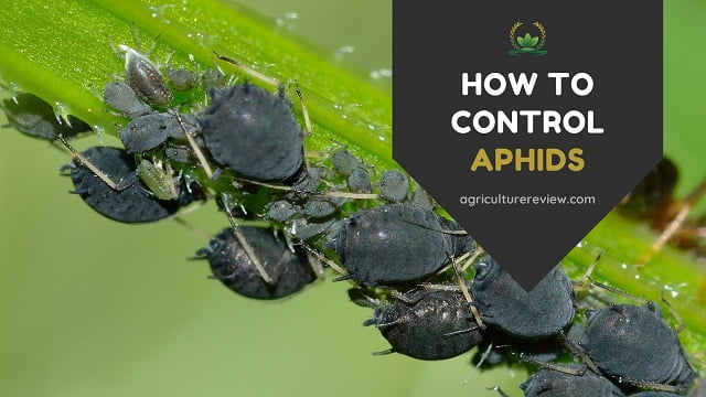 HOW TO CONTROL APHIDS | The Organic Way