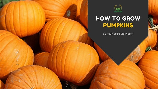 How To Grow Pumpkins: Step By Step Guide To Grow Pumpkins