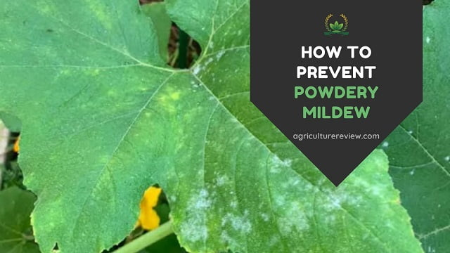 POWDERY MILDEW: How To Prevent Powdery Mildew