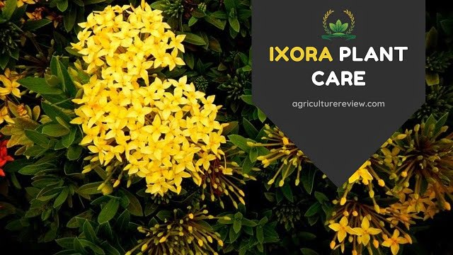 IXORA PLANT CARE: How To Grow And Care For An Ixora Plant