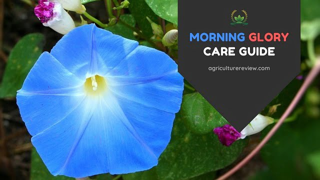 Morning Glory Care: How To Grow And Care For Morning Glory
