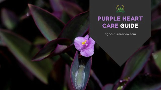 PURPLE HEART CARE: How To Grow And Care For Purple Heart