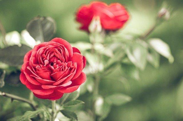 rose flower, rose bloom, rose plant