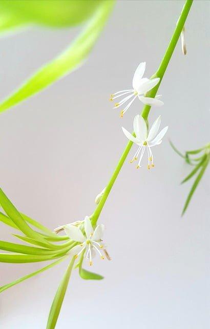 spider plant flower