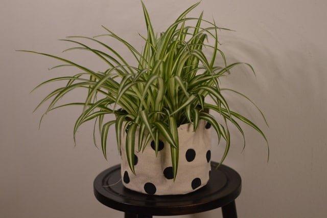 Spider plant, spider plant care, spider plant propagation