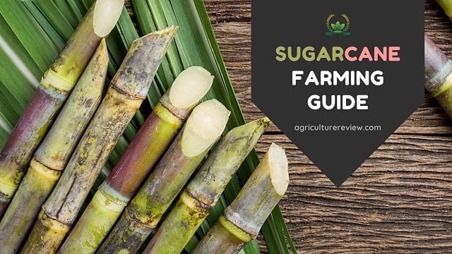 SUGARCANE FARMING: Complete Guide On Farming Of Sugarcane